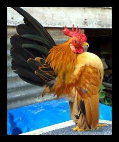 Serama Farm Bogor Blog